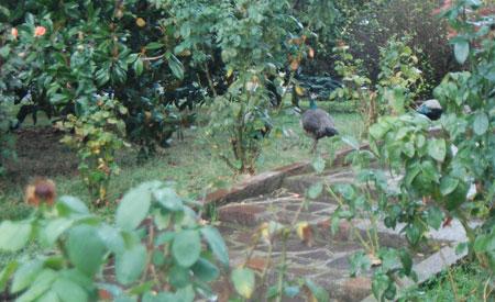 Pfauen im Garten