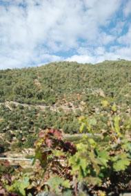 Auf dem Weg zur Olio Roi kommen wir an den Olivenhainen mit den Taggiasca-Oliven vorbei.