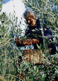 Olivenöl von Santa Tea