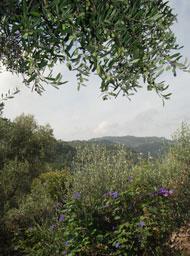 Olivenhain bei der Frantoio Venturino