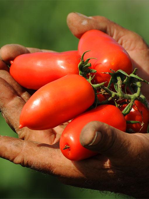 San Marzano anbauen – im eigenen Garten