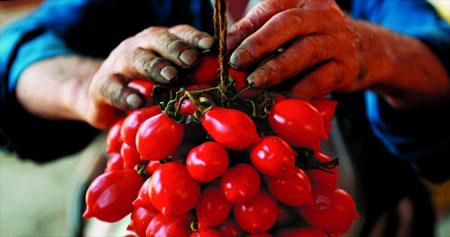 Eine Dolde mit Piennolo Tomaten