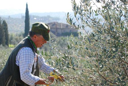 Von Hand werden die Oliven sorgsam gepflückt