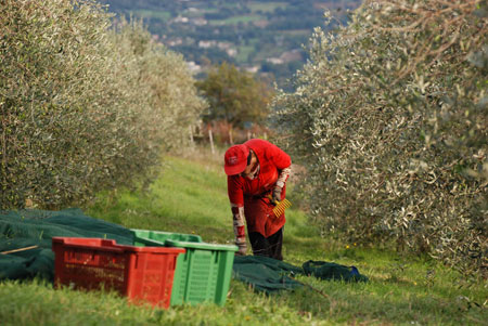 In diese Kisten kommen die gepflückten Oliven.