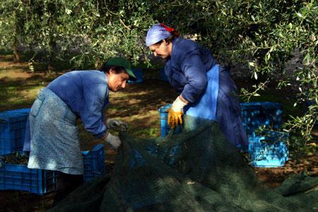 In den Netzen werden die herunterfallenden Oliven aufgefangen.