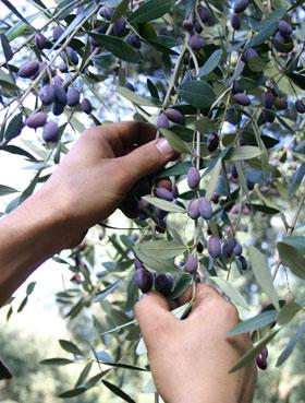 Von Hand werden die Oliven geerntet.
