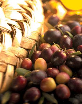 Frisch geerntete Oliven
