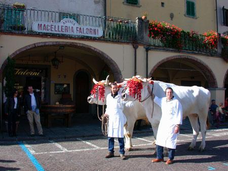 Chianina-Rinder vor der Metzgerei in Greve