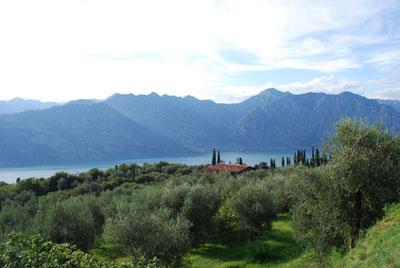 Ein Olivenhain am Gardasee