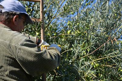 Giuseppe bei der Ernte