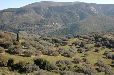Im Hintergrund des Olivenhains sieht man die Monti Iblei.