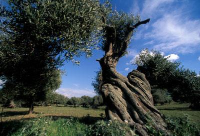 Uralte Olivenbäume auf Sardinien