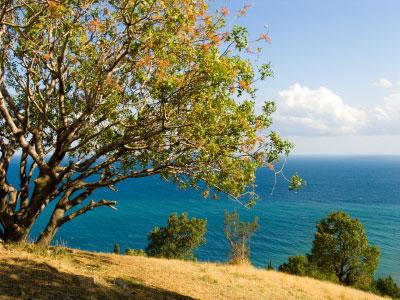 Ein Pistazien-Baum am Meer
