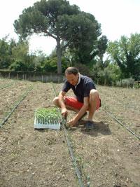 Einpflanzen der Tomaten-Setzlinge