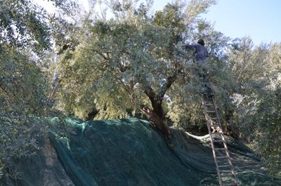 Olivenernte bei Agrestis