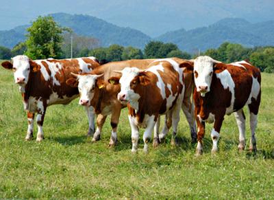montbeliard kühe