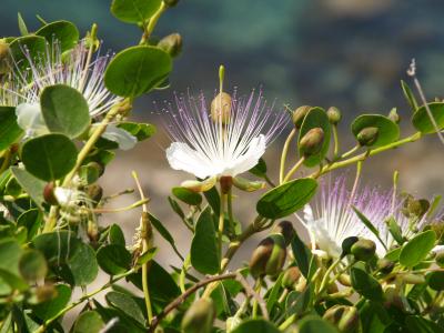 Kapernstrauch mit Blüte und Früchten