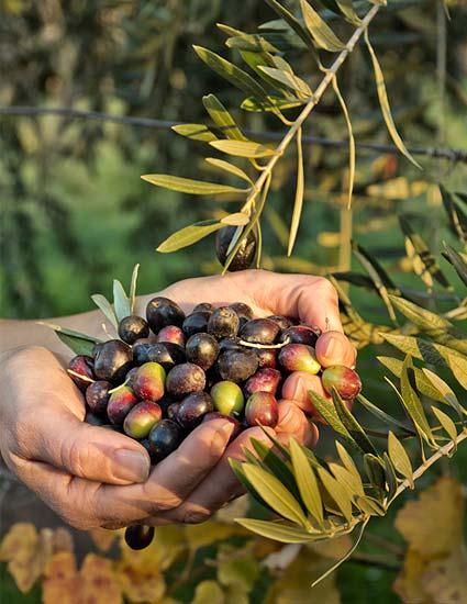 Aroden Oliven