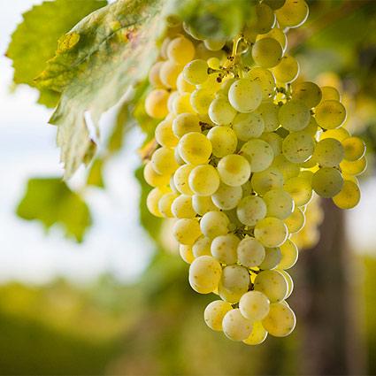 Pecorino Weißwein