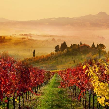Ein toskanischer Weinberg im Herbst.