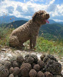 Ein Trüffelhund mit seiner edlen Beute.
