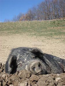 Ein zufrieden schlafendes, schwarzes Schwein.
