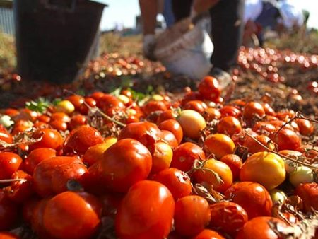 iContadini - Tomatenfeld