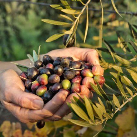 Capricho del Fraile aus der Picual Olive