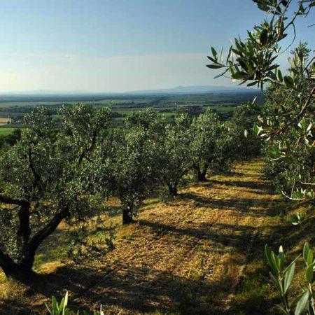 Olivenhaine in Bolgheri